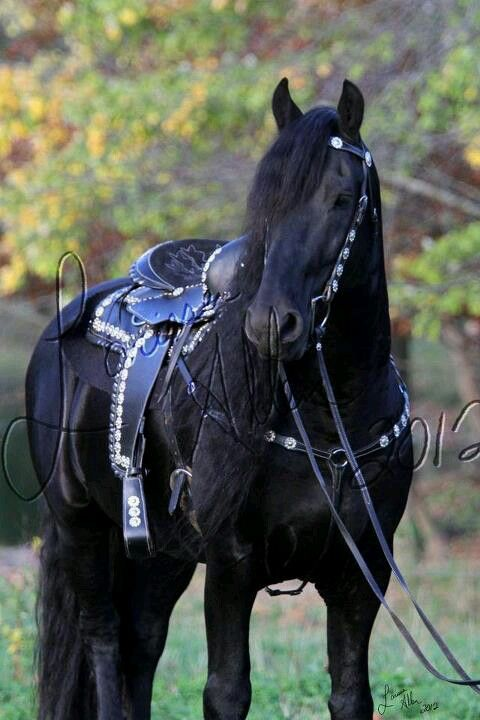 .Friesian black horse stallion dressage baroque