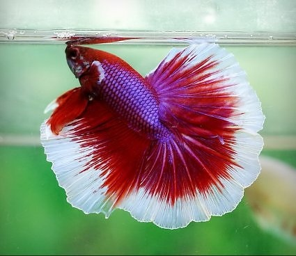 553 best images about beta fish on pinterest betta tank for Fish that can live with betta fish