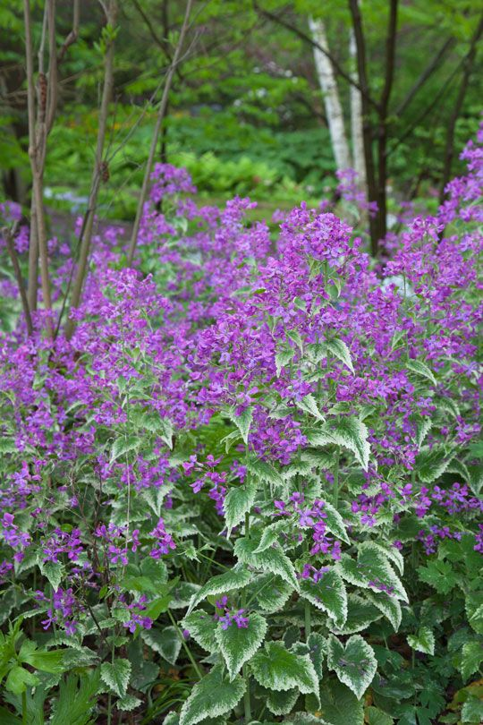 Lunaria annua 'Variegata', The Variegated Money Plant creates a cloud of purple near The Pond. Chanticleer, US