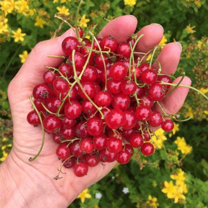 Röda vinbärssylt