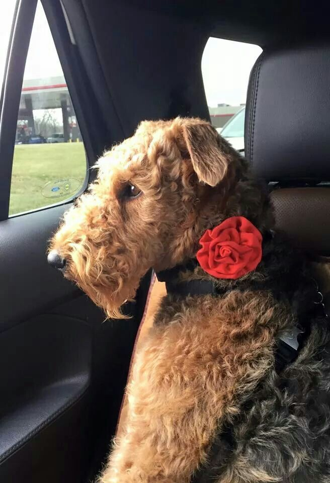 421 Best Images About Terriers On Pinterest Yorkshire