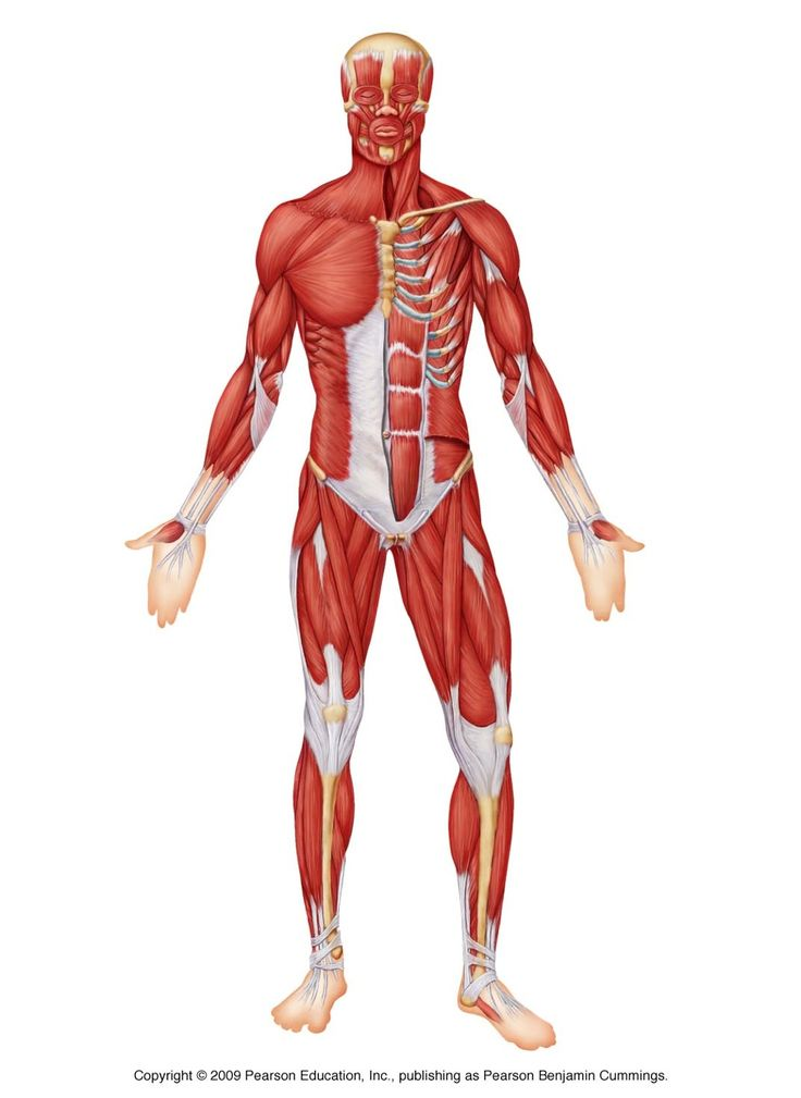 touch this image: the muscular system by 0008070 | biology, Muscles
