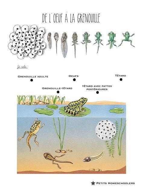 Fichier PDF de l'oeuf à la grenouille.pdf