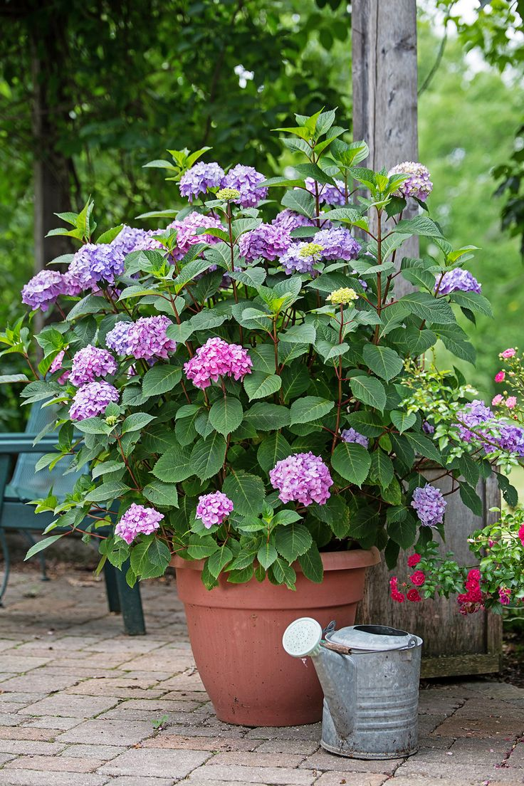 Shop for Endless Summer Bloomstruck Hydrangeas at Plant Addicts. We offer a large selection of hydrangea shrubs and other plants.