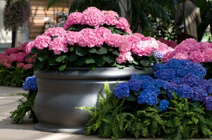 How To Change The Color Of Your Hydrangeas Like Magic