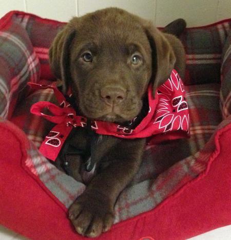 1000 Ideas About Chocolate Labrador Retriever On Pinterest