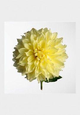 """Photo - """"Chrysanthema"""" by Fabio Zonta BUY IT NOW ON www.dezzy.it!"""