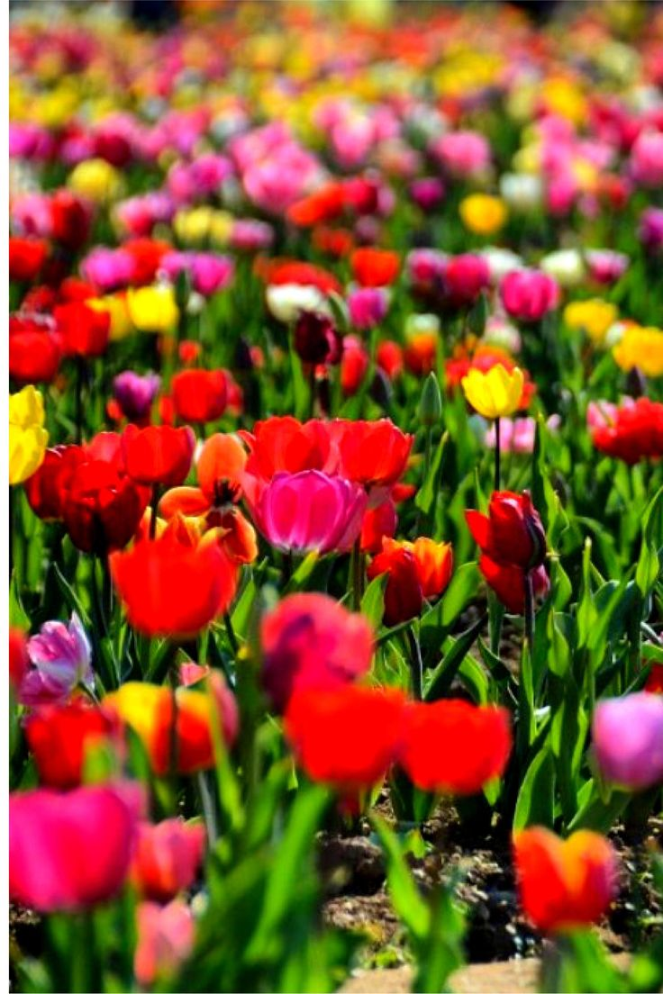A Piece of Holland in Italy 250.000 Tulips near Milan and You Can Pick Them! - The Adventure Found Me
