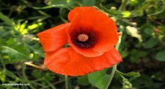 In tema di piante che dalle proprietà rilassanti e sedative, dopo il tiglio, ancora per qualche settimana possiamo tovare in giro per i campi i bellissimi fiori del Papavero http://www.greenme.it/spazi-verdi/clorofilla/1008-andar-per-erbe-selvatiche-il-papavero