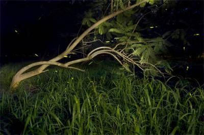 Fireflies, glow worms or lighting bugs?