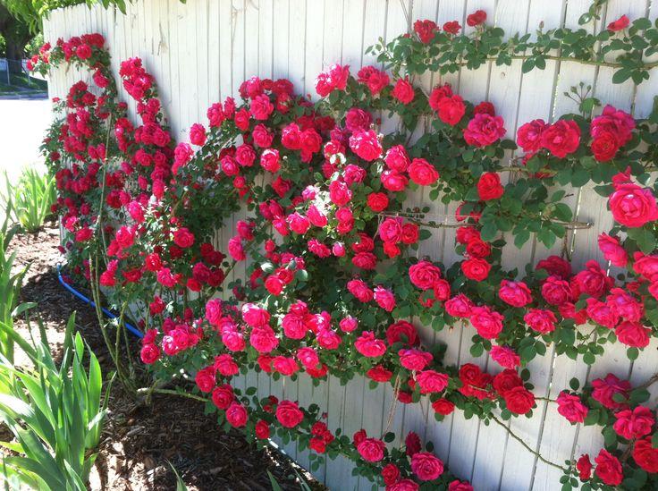 (1) Sementes Flor Rosa Trepadeira Vermelha P/ Mudas Importadas - R$ 7,90 no MercadoLivre