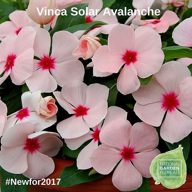 59 days till spring and counting- can't wait to add Vinca Solar Avalanche to my list! #newfor2017 #trailing #daystillspring #springcountdown #newforthegarden #growsomethingnew #containergarden #hemgenetics