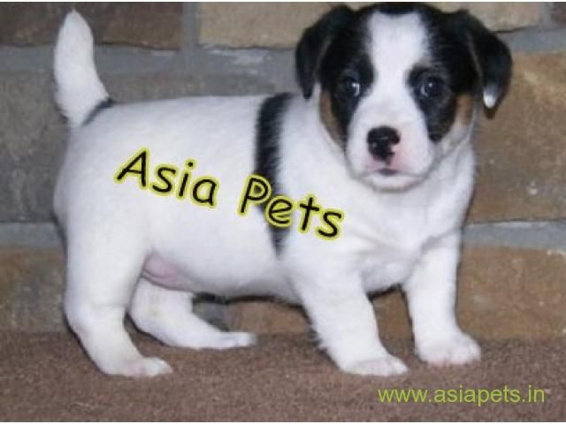 Jack Russell Terrier Puppy For Sale In Hyderabad Best Price Jack