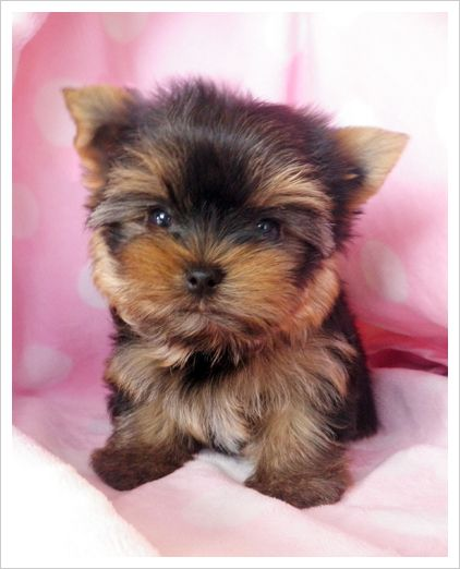 SOOO Cute !!!   I want a Teacup Yorkie Puppy  : )