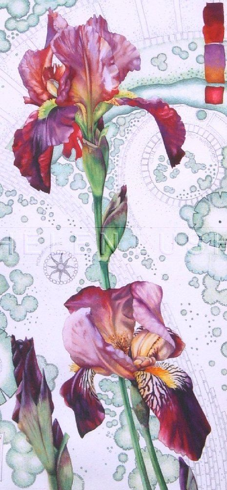 Original watercolour painting of lilac and maroon Bearded Iris flowers. Botanical art.