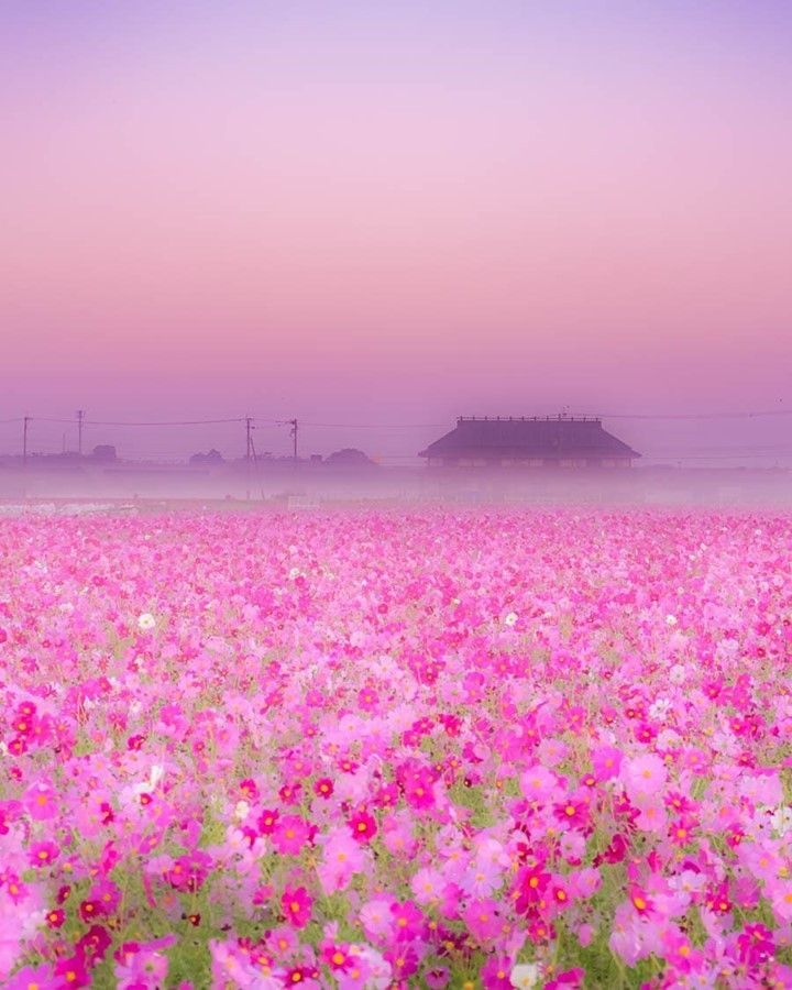 Visit Japan Just Look At This Pink Color Of 28 Million Cosmos Flowers Blooming On Paddy Fie In 2020 Cosmos Flowers Landscape Photography Visit Japan