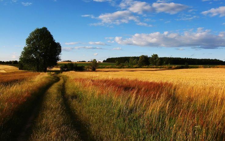 пшеница, рожь, поле, дорога, дерево