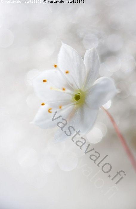 Kesän taikaa - kesä kesäinen valopallo valohelmi kesäkukka kukka valkoinen hede heteet metsätähti luonnonkasvi kesätunnelma heijastus heijastukset kimmellys kimallus terälehti terälehdet unenomainen sadunomainen