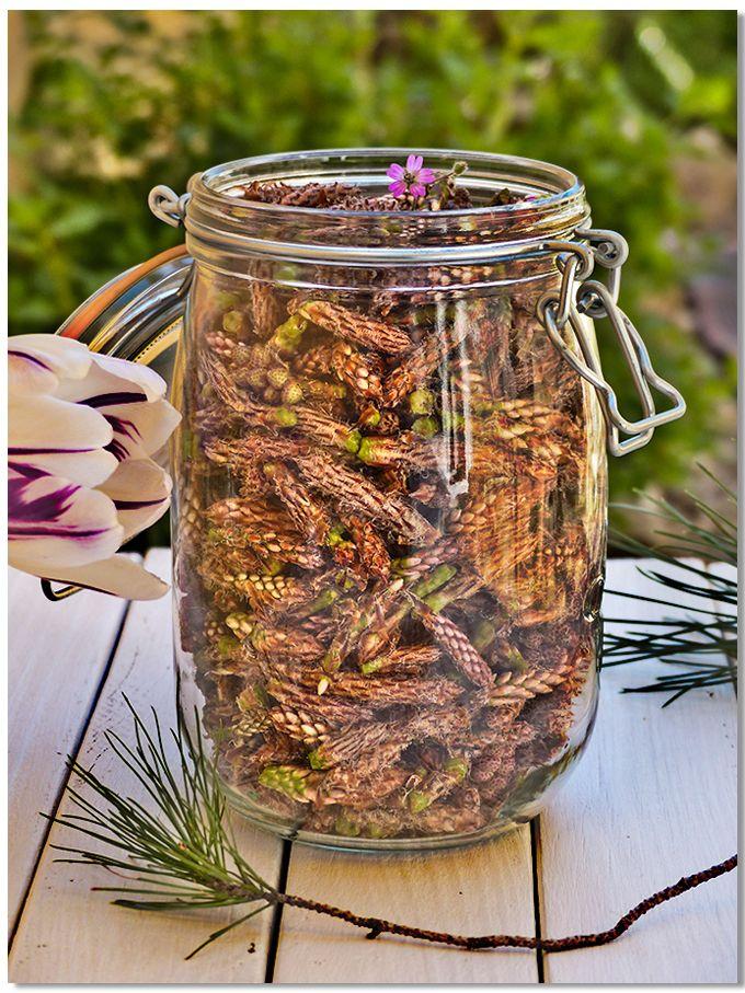 Bourgeons de pin en attente de macération pour une liqueur très nature. http://amandebasilic.com/liqueur-de-bourgeons-de-pin/