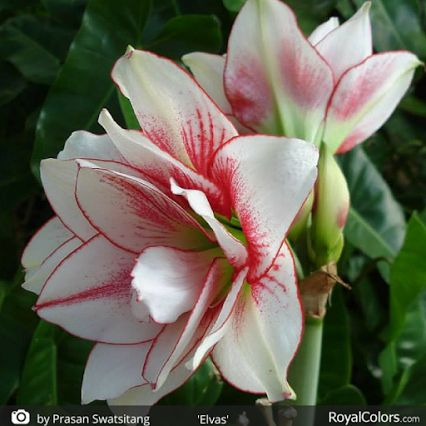 17 best images about amaryllis on pinterest posts samba for Amaryllis royal
