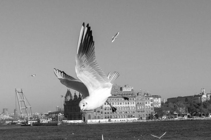 ✳ Get this free picture Bird black and white close up seagull    ☑ https://avopix.com/photo/54761-bird-black-and-white-close-up-seagull    #pelican #bird #pelecaniform seabird #seabird #aquatic bird #avopix #free #photos #public #domain