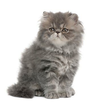 Prevent And Remove Matted Fur On Cats Purrrrfect Persian