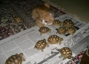 pretty kitten playing with turtles