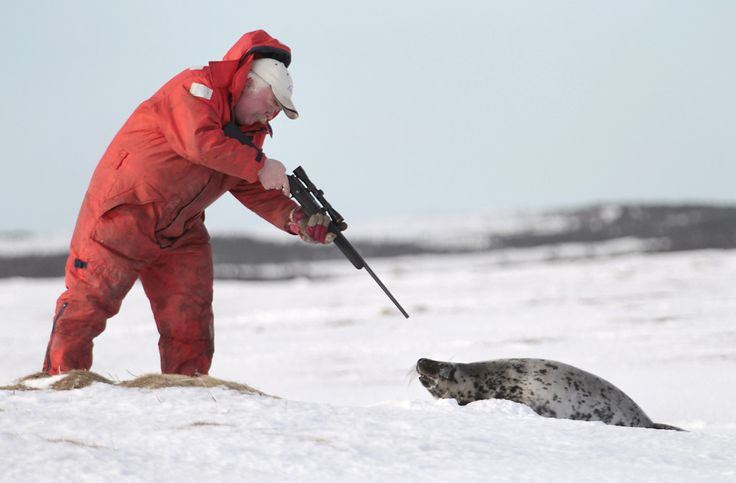 The Canadian government in early March announced this year's quota for its annual, and highly controversial, seal hunt. The allocation for 2015? 468,000 harp, h