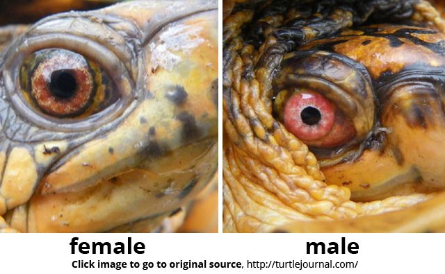 how to know the gender of a turtle