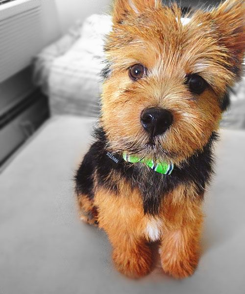 Norwich Terriers are confident, affectionate, stubborn, and energetic. They may be the smallest of the Terriers, but they pack an oversized personality. If you have one of these characters at home, you know these ten things to be true.