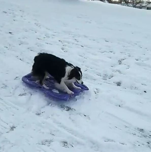 VIRAL VIDEO: Dog takes herself sledding - WBTV, Channel 3 News, Weather, Traffic - | WBTV Charlotte