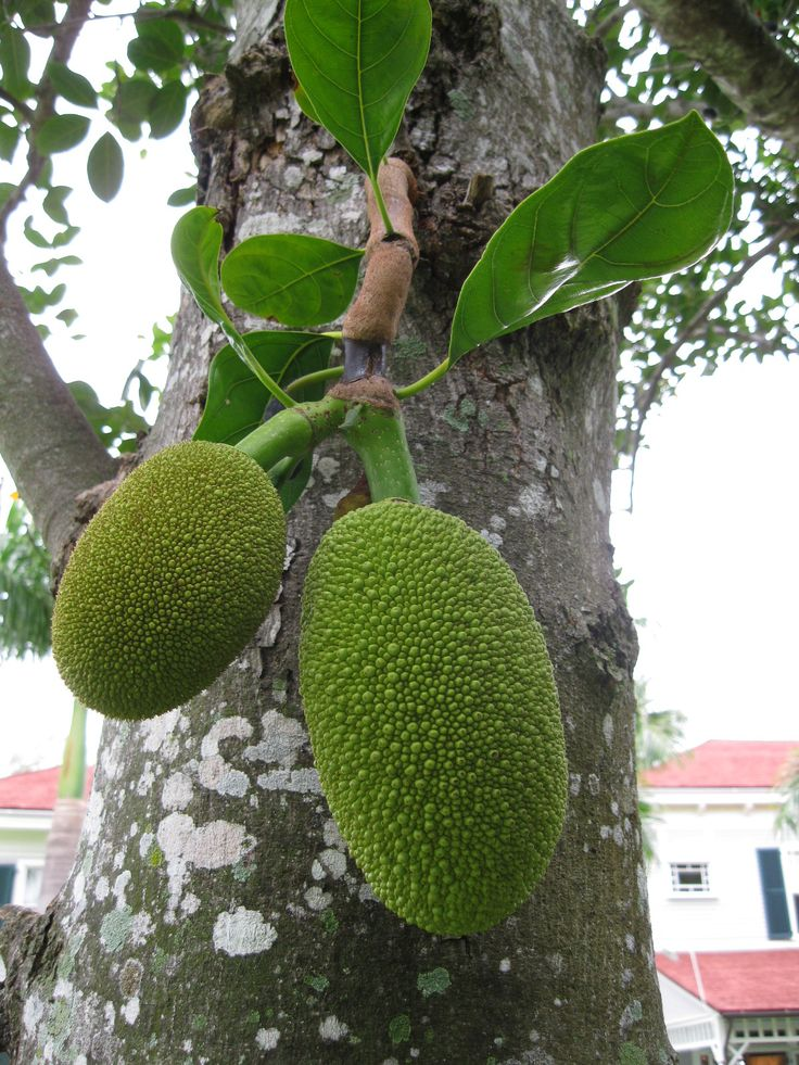 Name That Plant Jackfruit Tropical Florida Gardens Tropical Fruits Pin