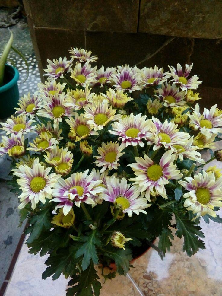 Bunga krisan ku (Dengan gambar) Bunga