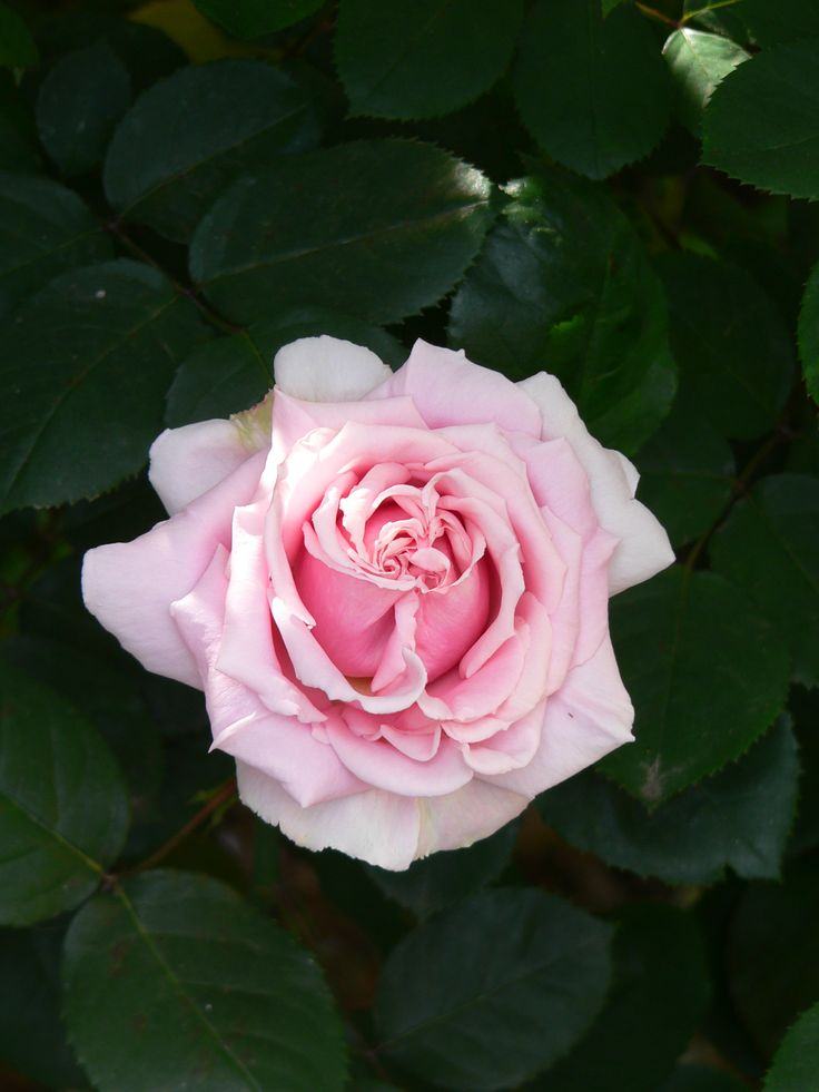 The Childrens Rose