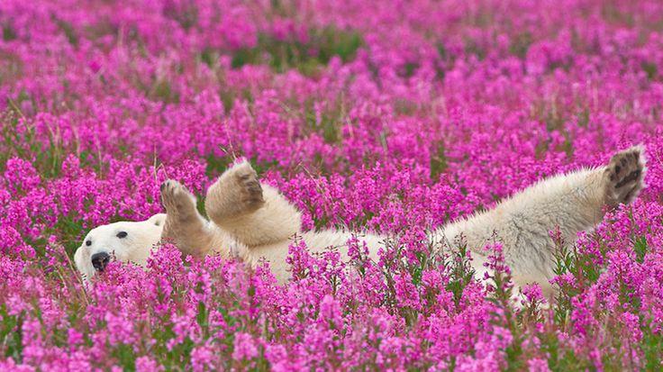 O fotógrafo da vida selvagem e natureza Dennis Fast capturou algumas fotografias incríveis de ursos polares aparentemente felizes apreciando seu verão. Como as estrelas do ártico poderiam imaginar que um paparazzi intrometido os estava fotografando escondido? É tão mágico ver a reação dos animais quando a primavere e o verão chegam depois de meses de um congelante inverno. Pelo visto os ursos adoram um calorzinho.