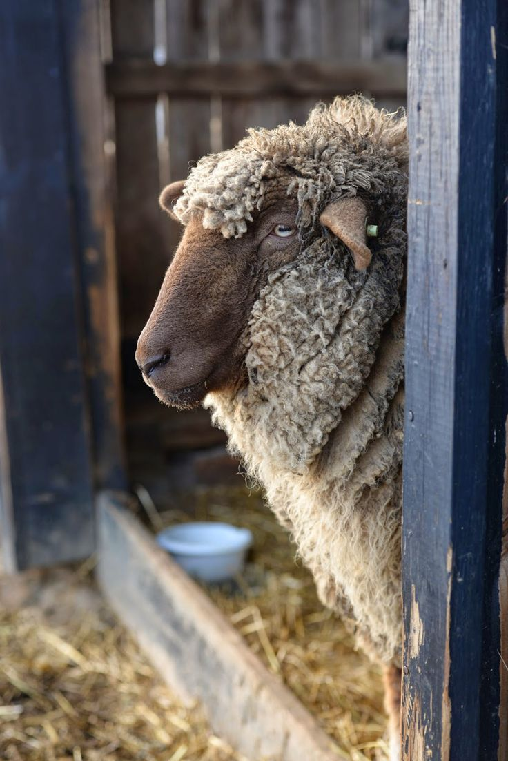 """The Contemplative Sheep."" (Sheep are wonderful reminders for us to slow down to enjoy the warm sun on our faces, meadow flowers in bloom and soft cushions of fresh green grass under our feet...)"