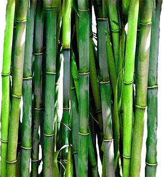 Best 25 Bamboo plants for sale ideas on Pinterest Bamboo