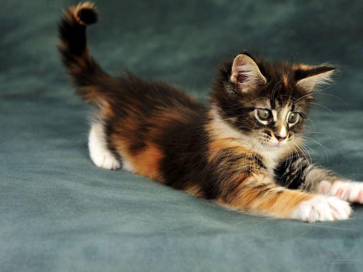 Legnépszerűbb Mesés macska fajták a világon. érdem. Caliby kiscicák 2048x1536.  2048 x 1536 2048*1536 #146