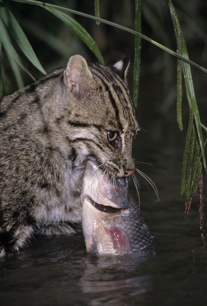 25 best ideas about fishing cat on pinterest spotted for Fish videos for cats