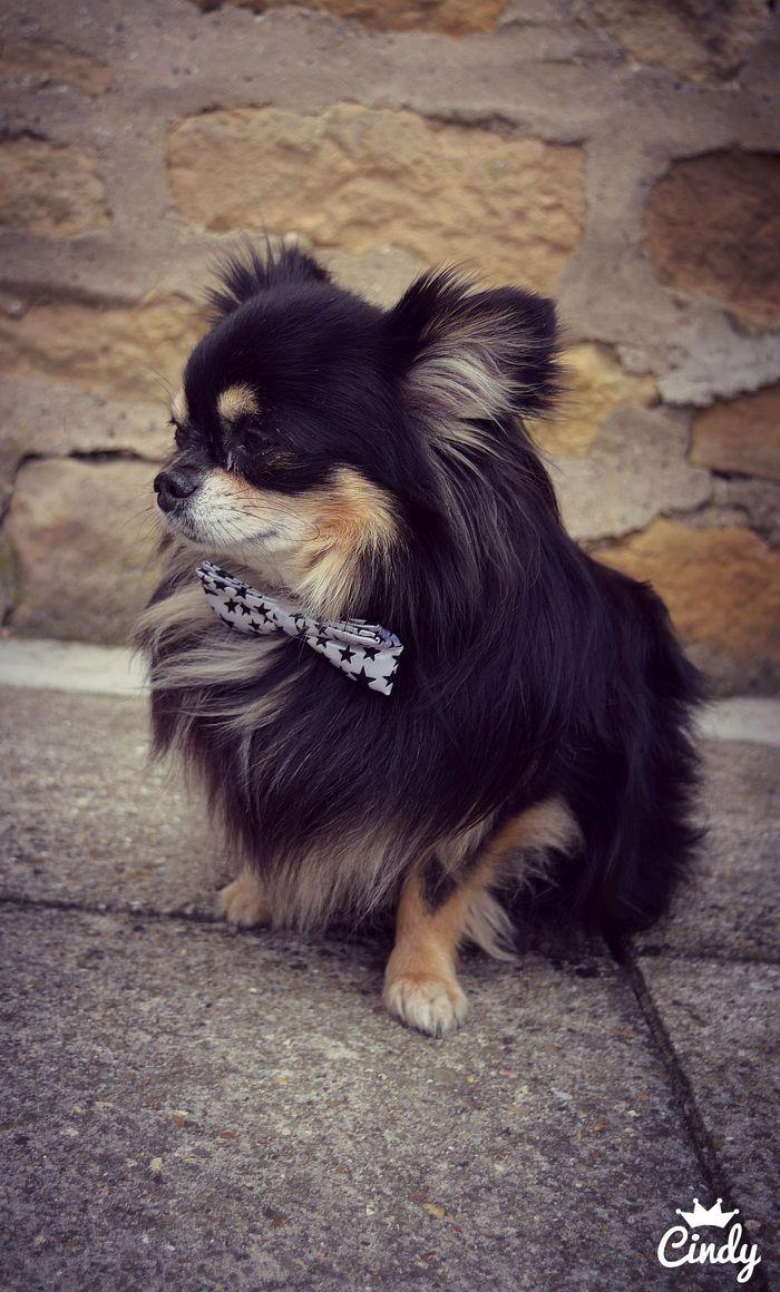 Dapper doggo @yummypets #fuchs #chihuahua
