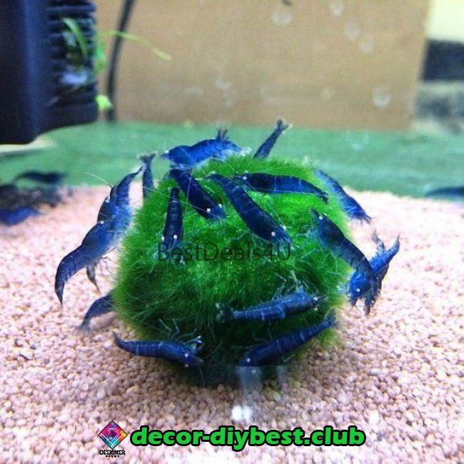 What Do Ghost Shrimp Eat