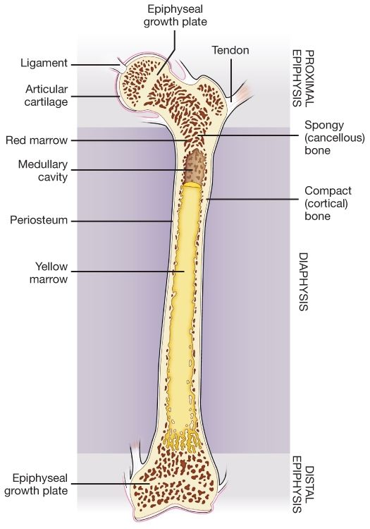 anatomy integumentary system terms and definitions Anatomy of the nervous system  burns are sometimes measured in terms of the size of the total surface area affected  and injuries of the integumentary system .