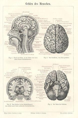 """Grabado sobre el cerebro humano (""""Gehirn Des Menschen"""") (1894)"""