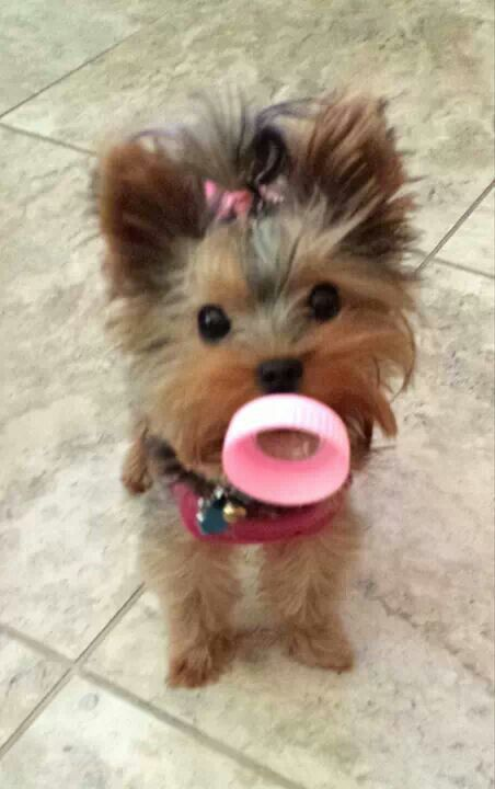 Baby Chanel With Her Pacifier Yorkie Puppy Yorkshire
