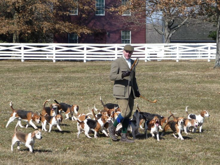 Britannia Beagles | Full Cry: A Hound Blog