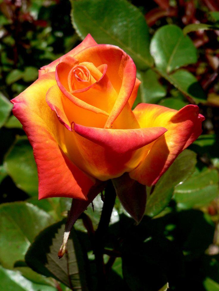 Red Gold Flores Flores Rosas Naranja Rosas
