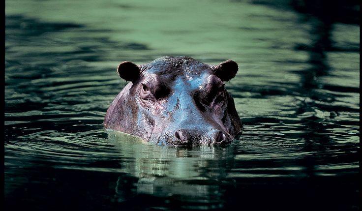 Hippo, spotted near Singita Lebombo Lodge, Kruger, South Africa #safari
