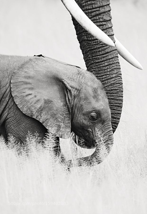"An Elephant Calf:  ""Safely At The End Of Mom's Trunk."""