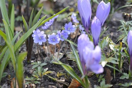 kobjælde og krokus: Kobjælde Og, Og Krokus, Spring, Garden