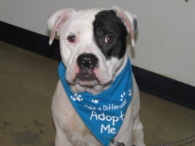 Spot - located at Richland County Dog Warden in Mansfield, Ohio - Adult Male Pit Bull/Am. Bulldog mix - I came to the shelter as a stray on 5/25/16. I have some skin issues going on - not sure if it is mange or a yeast infection. I am a super sweet guy. I was tested with other dogs and I did pretty good. I was nervous with the other dogs and I did better with calm dogs like me.